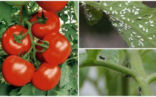 흰색과 검은 색 파리에서 토마토를 처리하는 방법