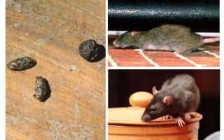 아파트에서 쥐를 다루는 방법