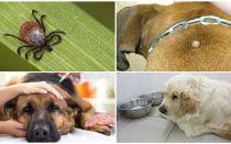 개에서의 피로 플라스마 증의 증상과 치료