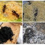 개미의 민속 요리법