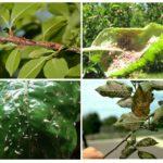진딧물로 인한 피해