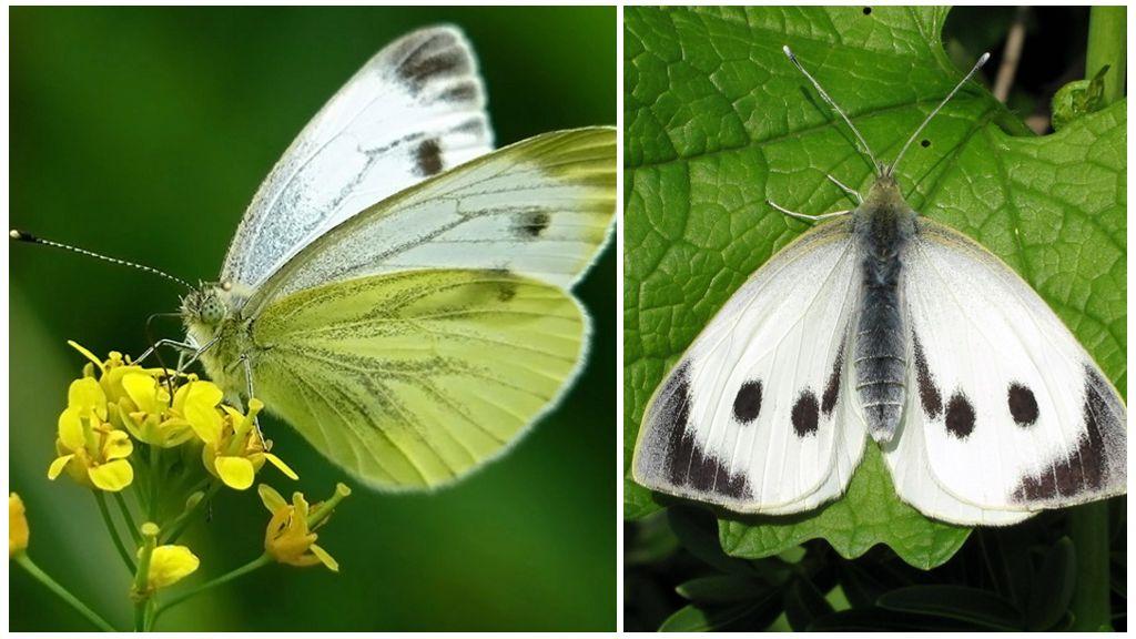 나비 양배추