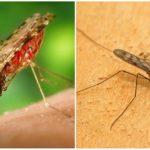 말라리아 모기